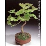 Γκίνγκο Μπιλόμπα (Ginkgo biloba) - 4 σπόρους