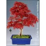 Iαπωνικό σφενδάμο (Acer palmatum Atropurpureum) - 10 σπόρους