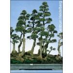Αυστραλιανό πεύκο (Casuarina equisetifolia) - 200 σπόρους