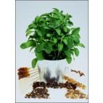 """Stevia, """"το γλυκόχορτο"""" (Stevia rebaudiana) - 100 σπόρους"""