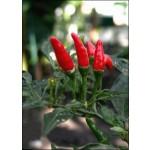 Πιπέρι καγιέν (Capsicum frutescens ) - 30 σπόρους