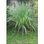 Λεμονόχορτο (Cymbopogon flexuosus) - 100 σπόρους
