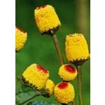 Aκμή (acmella oleracea) - 500 σπόρους