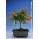 Μίνι ρόδι (Punica granatum nana) - 30 σπόρους