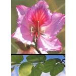 Πολύχρωμη Bauhinia (Bauhinia variegata) - 5 σπόρους