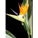 Strelitzia (Strelitzia reginae) - 5 σπόρους